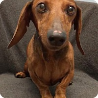 Adopt A Pet :: Spyro - Weston, FL
