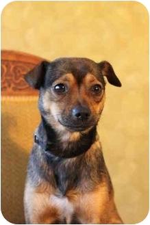 Rat Terrier/Pug Mix Dog for adoption in Portland, Oregon - Babe