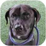 Labrador Retriever Mix Dog for adoption in Eatontown, New Jersey - Bowtie