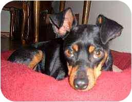 Miniature Pinscher Dog for adoption in Appleton, Wisconsin - Tavi