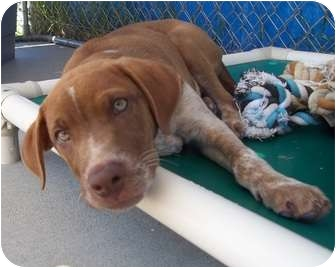 German Shorthaired Pointer Mix Puppy for adoption in Grants Pass, Oregon - Fletcher