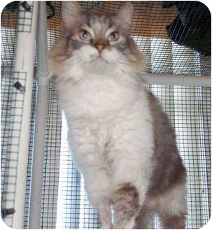 Ragdoll Cat for adoption in San Clemente, California - TRES