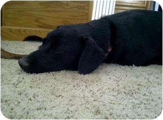 Labrador Retriever/Australian Cattle Dog Mix Dog for adoption in Reisterstown, Maryland - Peanut