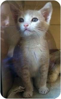 Domestic Shorthair Kitten for adoption in Lithia, Florida - Stuart Little