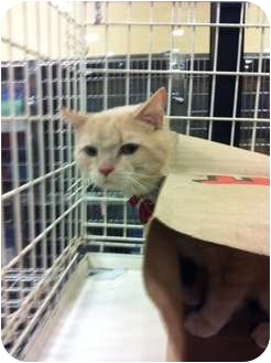 Domestic Shorthair Cat for adoption in Pittstown, New Jersey - Georgie