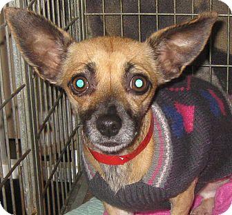 Chihuahua Dog for adoption in Studio City, California - Lexie
