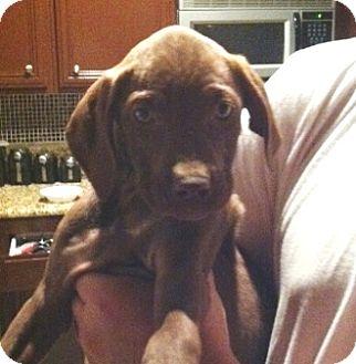 Labrador Retriever/Weimaraner Mix Puppy for adoption in Nuevo, California - Maple