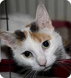 Calico Cat for adoption in Lombard, Illinois - Ciara
