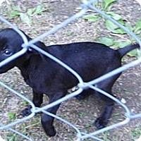 Adopt A Pet :: Bambi - Bel Air, MD
