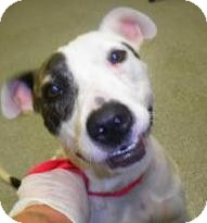 Australian Terrier/Terrier (Unknown Type, Medium) Mix Dog for adoption in Lincolnton, North Carolina - Belle-