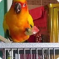 Adopt A Pet :: Sunnie B - St. Louis, MO