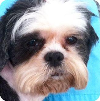 Lhasa Apso Dog for adoption in Westminster, California - Jasmyn Mae