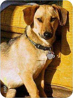 Dachshund/German Shepherd Dog Mix Dog for adoption in Brookside, New Jersey - Luki