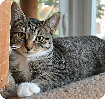 Domestic Shorthair Cat for adoption in Bronx, New York - Fiona