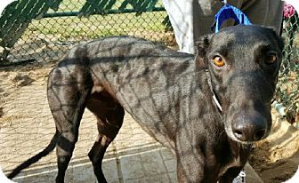 Greyhound Dog for adoption in Spencerville, Maryland - Baba