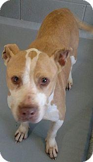 Pit Bull Terrier Mix Dog for adoption in Cincinnati, Ohio - Peaches