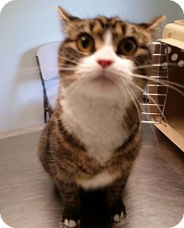 Domestic Shorthair Cat for adoption in Dahlgren, Virginia - Mitten