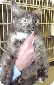 Domestic Shorthair Kitten for adoption in Cheboygan, Michigan - 19831