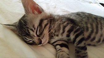 Domestic Shorthair Kitten for adoption in Rosamond, California - Silvan