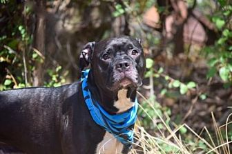 American Pit Bull Terrier Mix Dog for adoption in Manhattan, New York - Hennessy