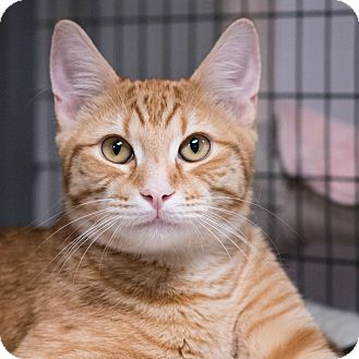 Domestic Shorthair Cat for adoption in Houston, Texas - Gil
