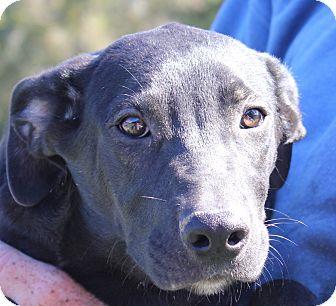Labrador Retriever/Plott Hound Mix Puppy for adoption in Colonial Heights, Virginia - Aladdin