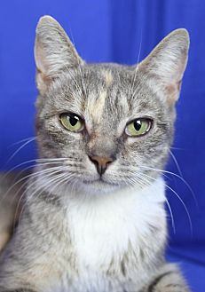 Domestic Shorthair Cat for adoption in Winston-Salem, North Carolina - Amelia