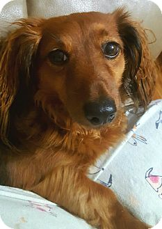 Dachshund Dog for adoption in Andalusia, Pennsylvania - Missy