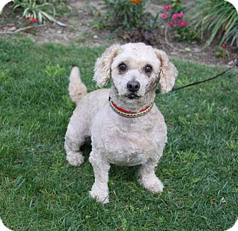 Poodle (Miniature) Mix Dog for adoption in Newport Beach, California - MICHAEL