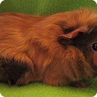 Adopt A Pet :: Rocco - Steger, IL
