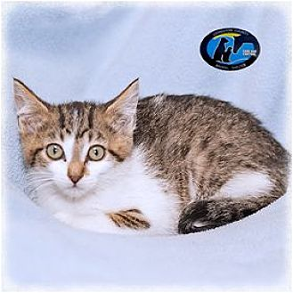 Domestic Shorthair Kitten for adoption in Howell, Michigan - Essex