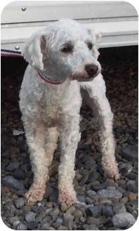 Poodle (Miniature) Dog for adoption in Provo, Utah - Morgan