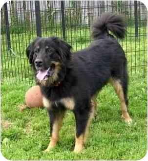 Bernese Mountain Dog/German Shepherd Dog Mix Dog for adoption in Ile-Perrot, Quebec - Sharla