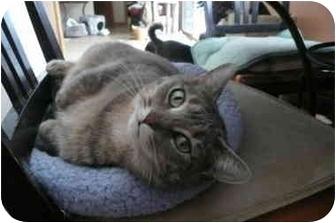 Domestic Shorthair Cat for adoption in Sheboygan, Wisconsin - Toni