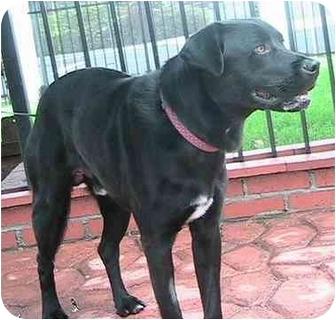 Labrador Retriever Mix Dog for adoption in Poway, California - Blackie