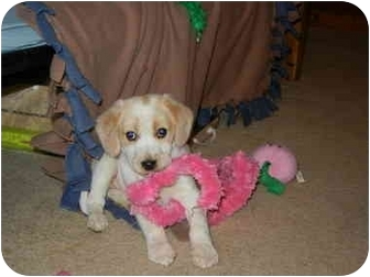 Spaniel (Unknown Type)/Beagle Mix Puppy for adoption in Hartford, Connecticut - Belle