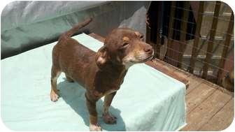 Miniature Pinscher Mix Puppy for adoption in Cumming, Georgia - Maddie