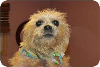 Yorkie, Yorkshire Terrier/Silky Terrier Mix Dog for adoption in Livonia, Michigan - Katy - Adoption Pending