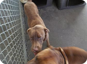Labrador Retriever Mix Dog for adoption in Henderson, North Carolina - Kendall