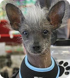 Chinese Crested Dog for adoption in House Springs, Missouri - Miss Cassie Lavoe