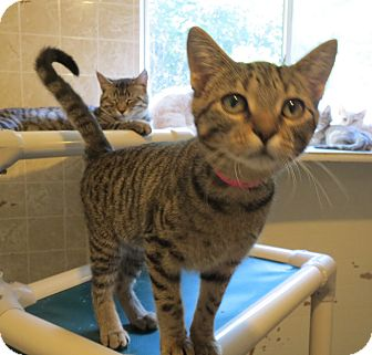 Domestic Shorthair Kitten for adoption in Geneseo, Illinois - Stinger