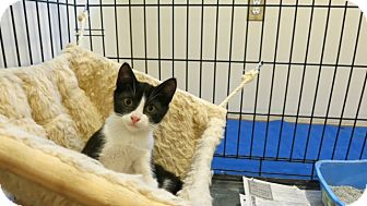 Domestic Shorthair Kitten for adoption in Piscataway, New Jersey - Loganberry