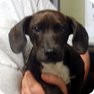Dachshund Mix Puppy for adoption in Greencastle, North Carolina - Sosa
