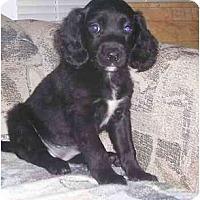Adopt A Pet :: Cockalier Girls - Chandler, IN