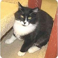 Adopt A Pet :: Sox - Mesa, AZ