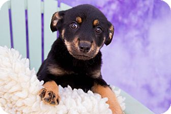 Blue Heeler Mix Puppy for adoption in Fort Lupton, Colorado - Daisy