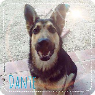 German Shepherd Dog Puppy for adoption in Phoenix, Arizona - Dante