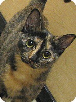 Domestic Shorthair Cat for adoption in Tulsa, Oklahoma - Avon