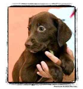 Beagle/Labrador Retriever Mix Puppy for adoption in Warren, Pennsylvania - Madonna