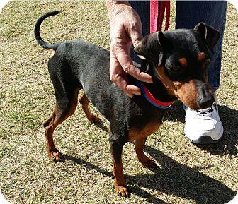 Miniature Pinscher Mix Dog for adoption in Mesa, Arizona - Bentley